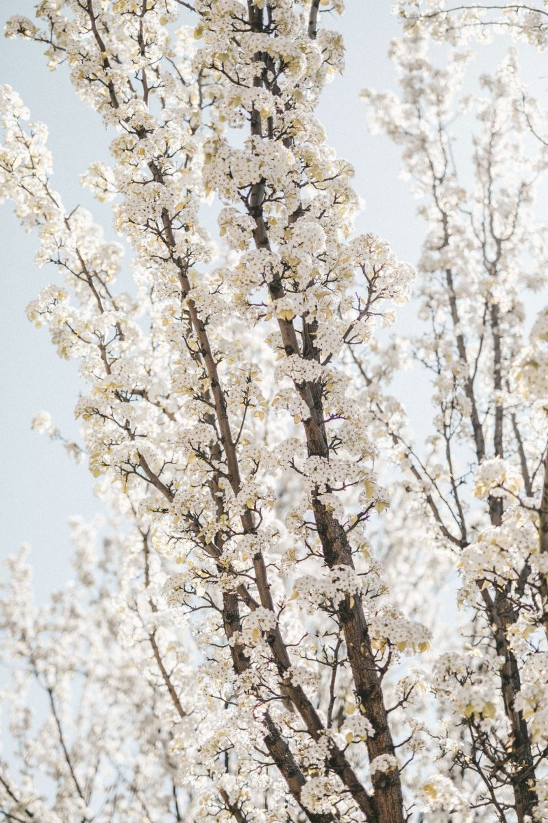 cherry blossoms (1 of 2)