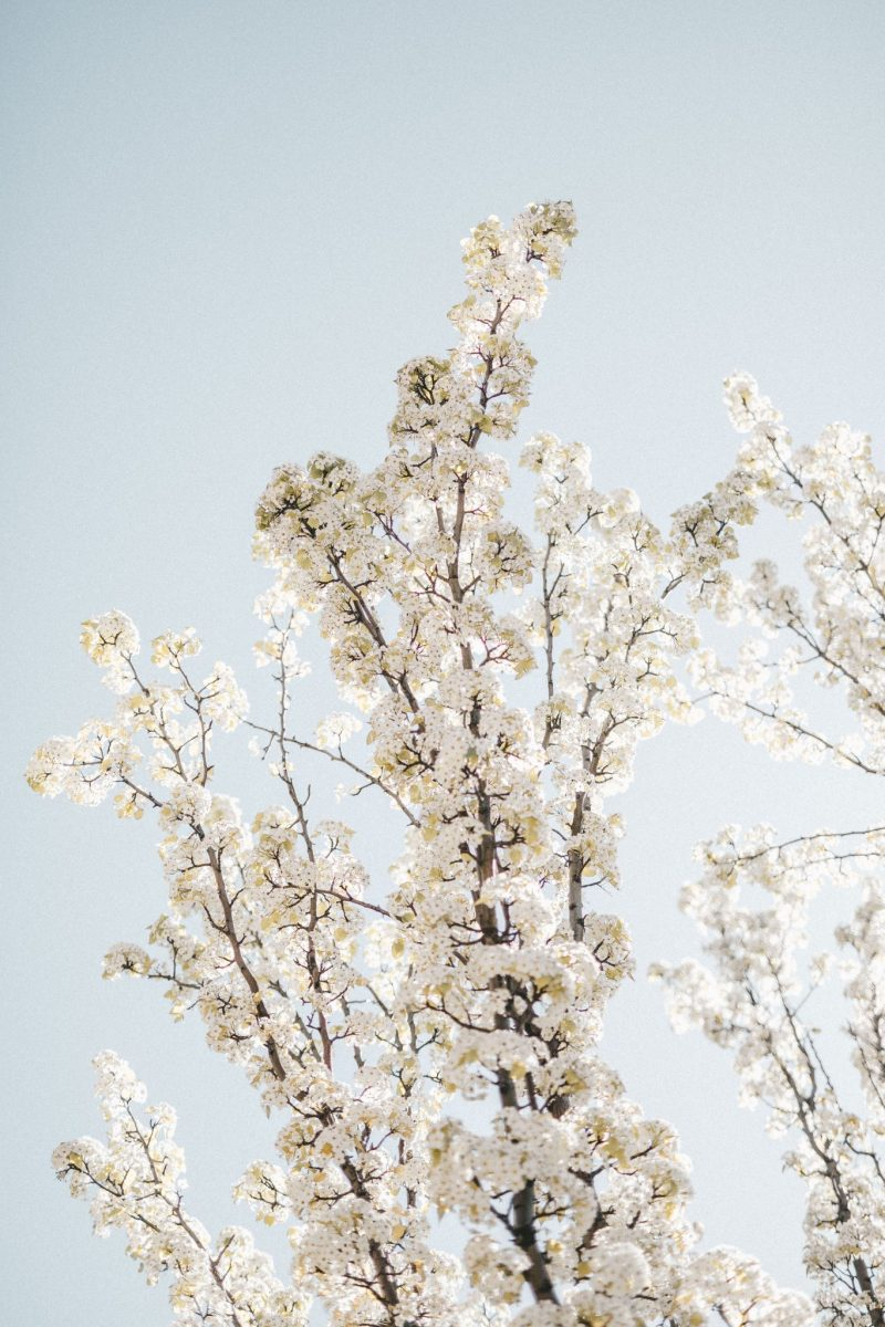 cherry blossoms (2 of 2)
