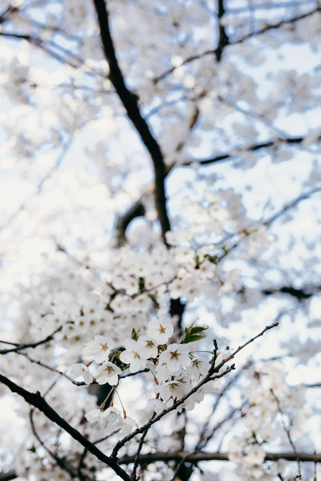 cherry blossoms trees (8 of 9)